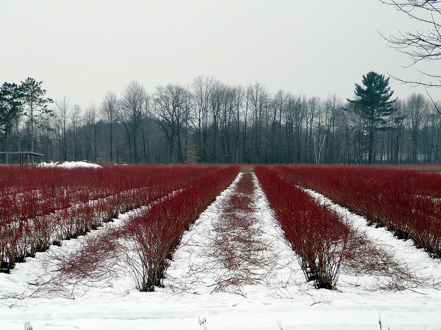 Blueberry farm in winter