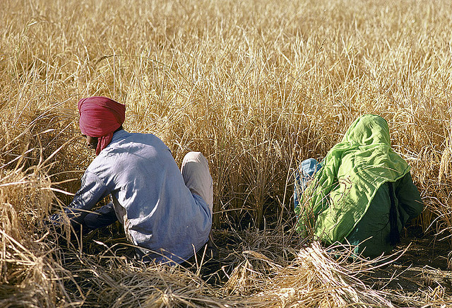Two Indian farmers in a wheat field