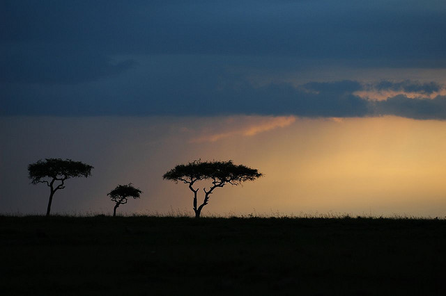 Acacia tortolis trees on the African savanna